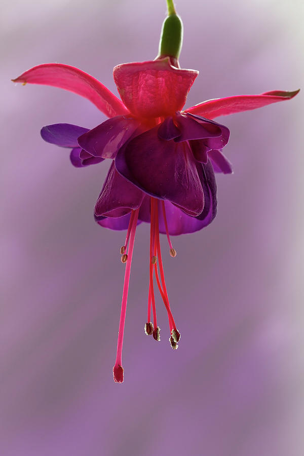 Flora Photograph - Dance Of The Fuschia by Shirley Mitchell