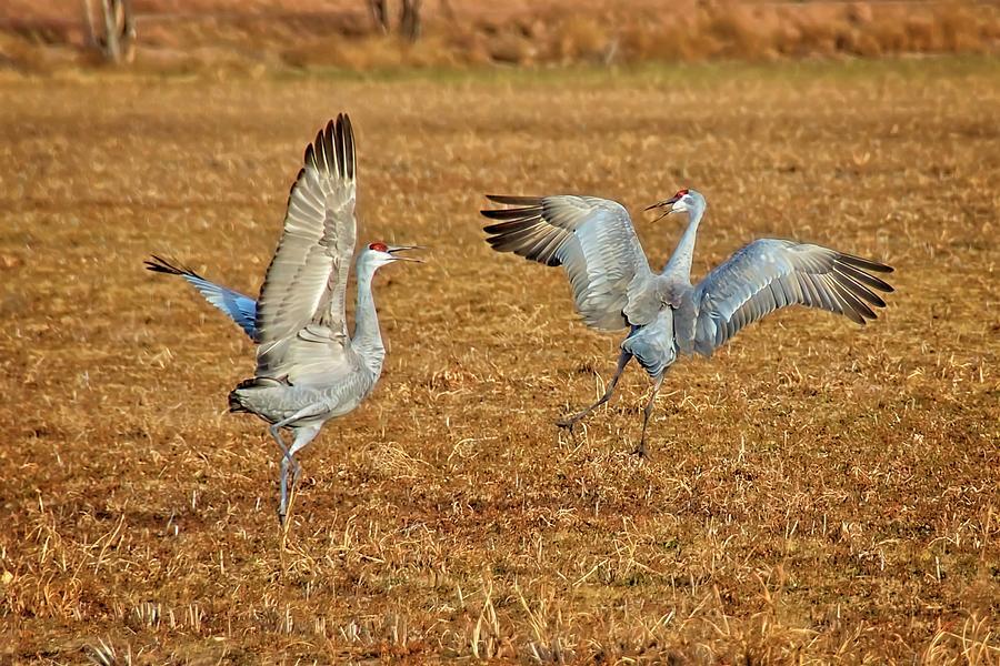 Nature Photograph - Dance Ritual, Sandhill Cranes by Zayne Diamond Photographic