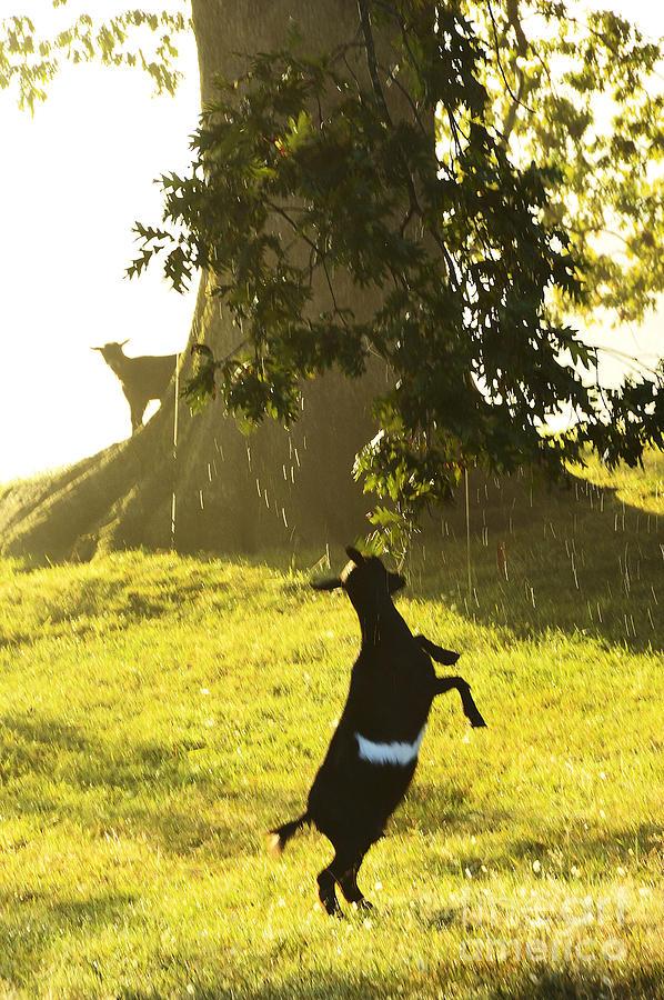Pygmy Goat Photograph - Dancing In The Rain by Thomas R Fletcher