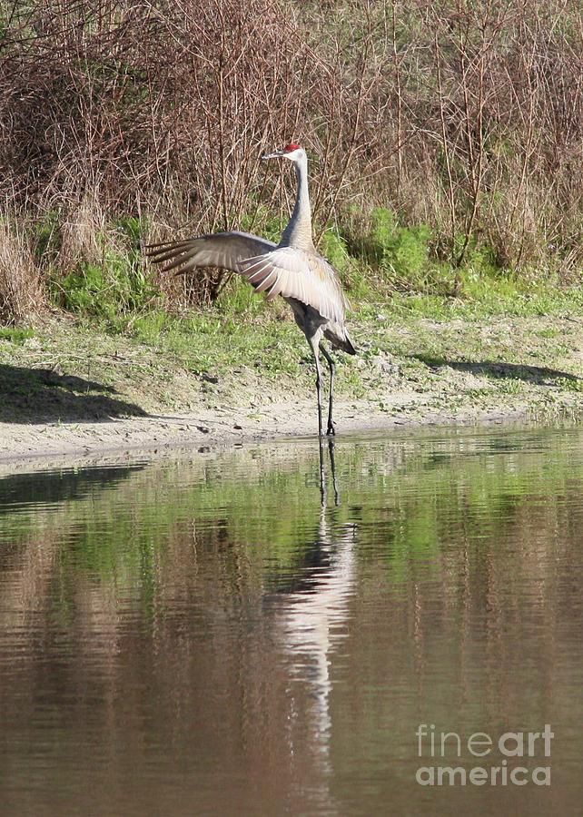 Bird Photograph - Dancing On The Pond by Carol Groenen