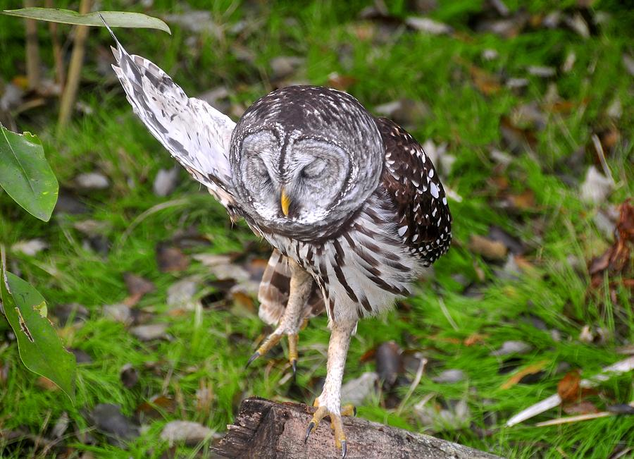 Barred Owl Photograph - Dancing Owl by David Lee Thompson