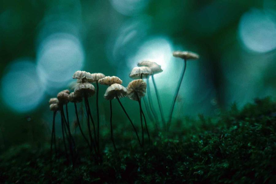 Parasol Mushroom Photograph - Dancing Parasol Mushrooms by Laurie Paci