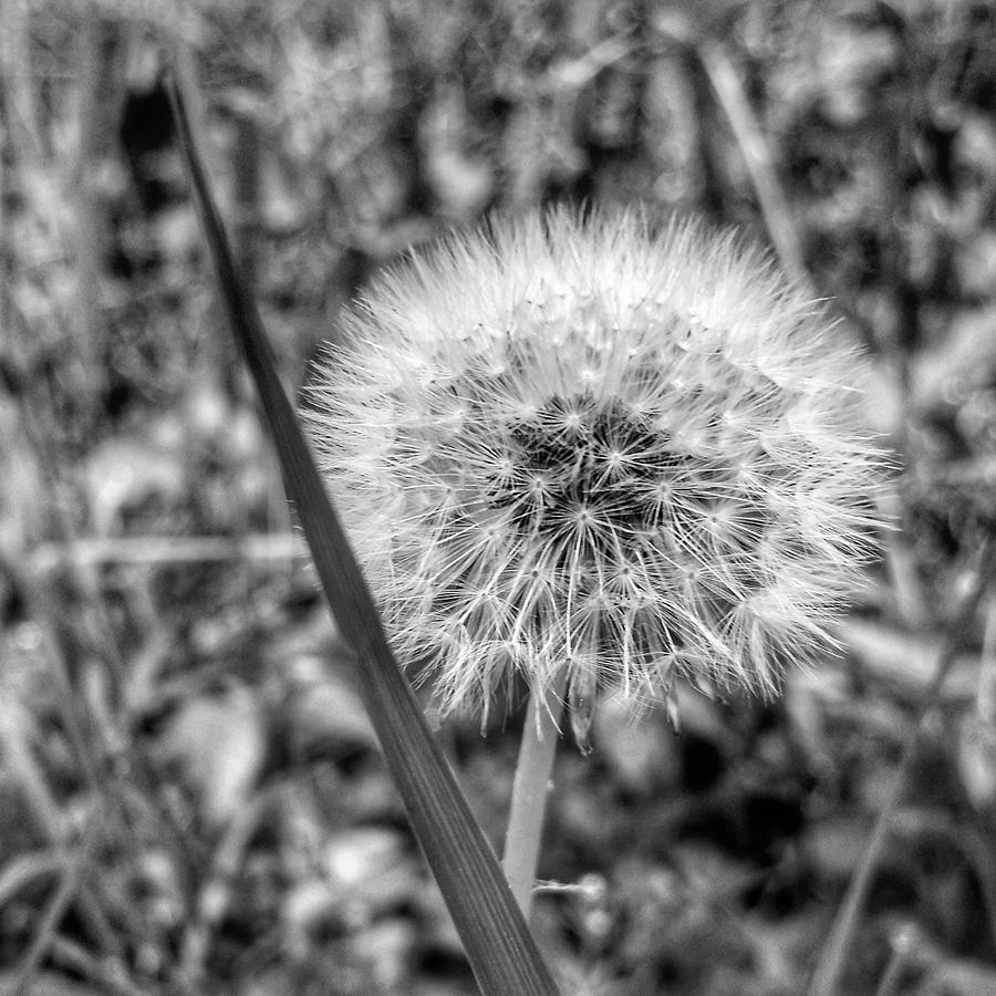 Dandelion by Al Harden