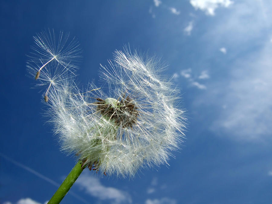 Dandelion And Blue Sky Photograph