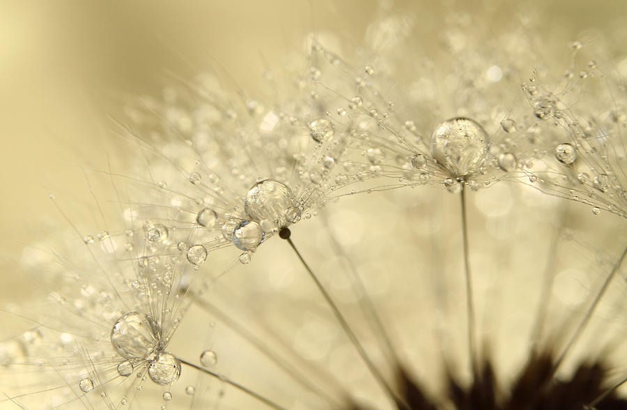 Dandelion Photograph - Dandelion Drops by Sharon Johnstone