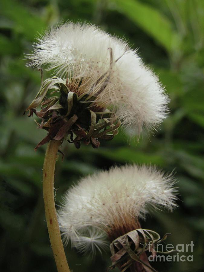Dandelion Photograph - Dandelion Fairies by Kim Tran