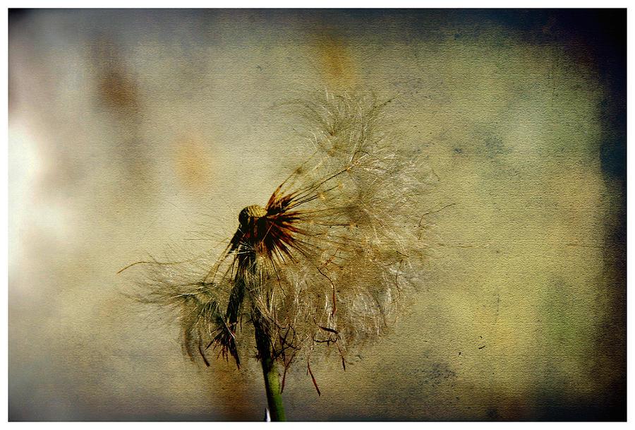 Illustration Photograph - Dandelion Flower by Valmir Ribeiro