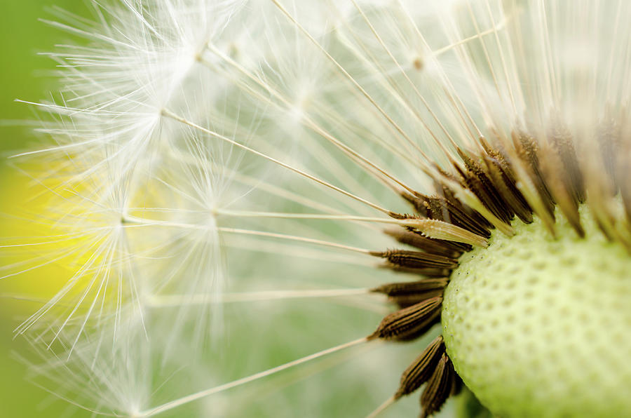 Dandelion Fluff by Rainer Kersten