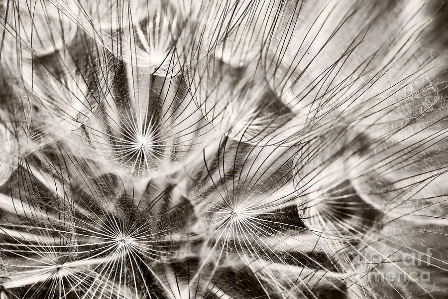 Dandelion Photograph - Dandelion by Gabriela Insuratelu