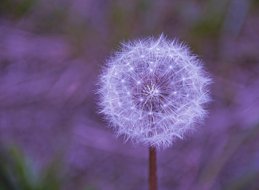 Dandelion Photograph - Dandelion Geometry by SimplyCMB