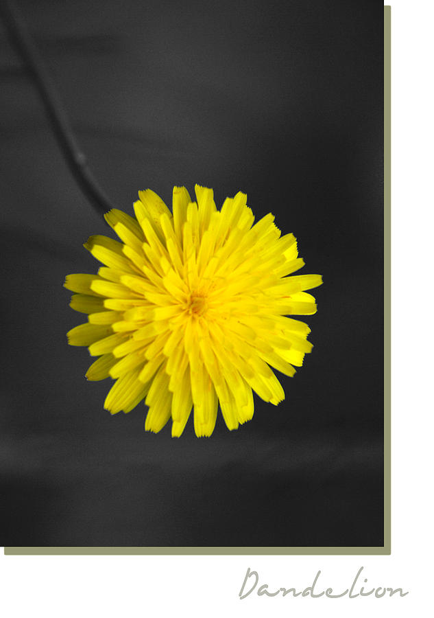 Floral Photograph - Dandelion by Holly Kempe