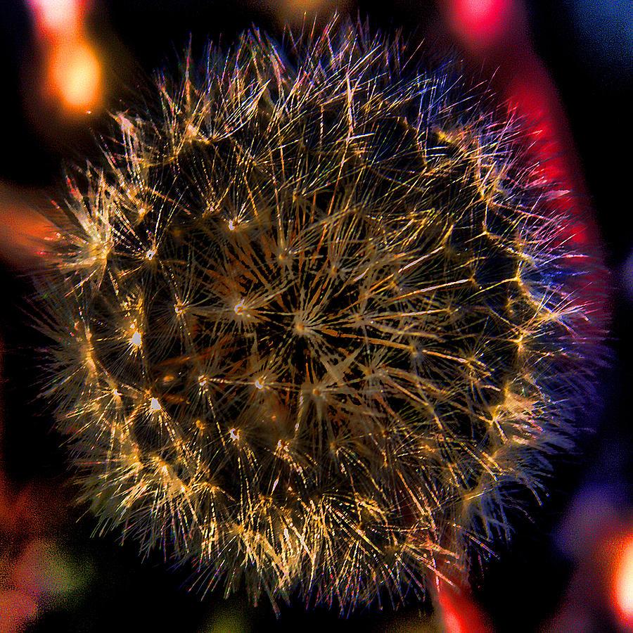 Dandelion Photograph - Dandelion II by David Patterson