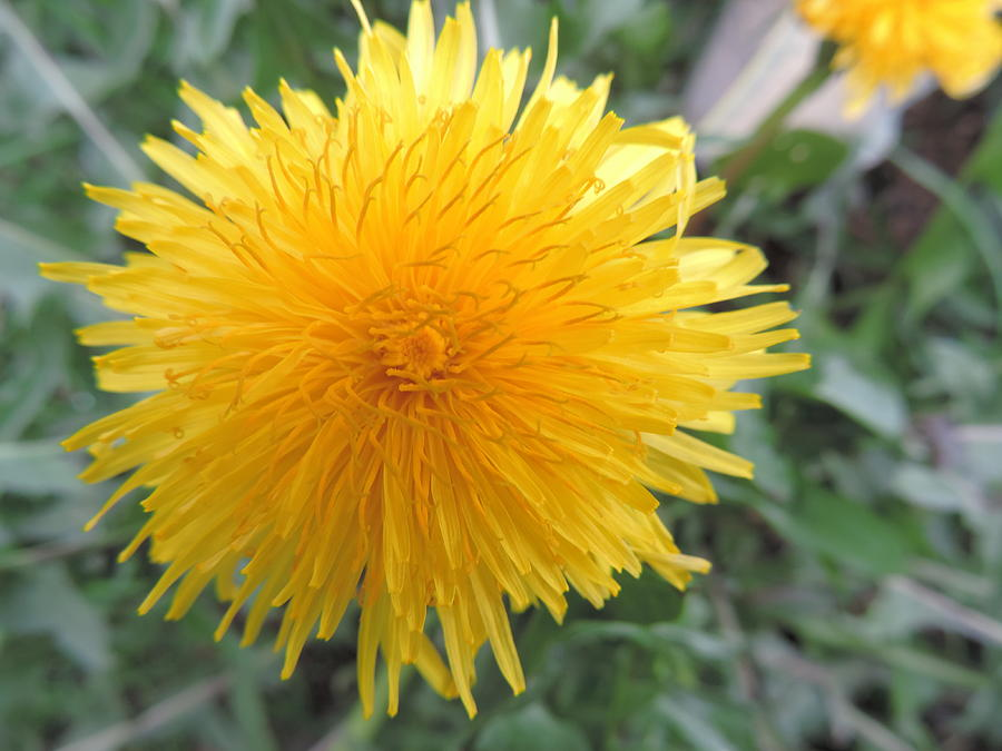 Yellow Photograph - Dandelion In Bloom by Alora Peterson