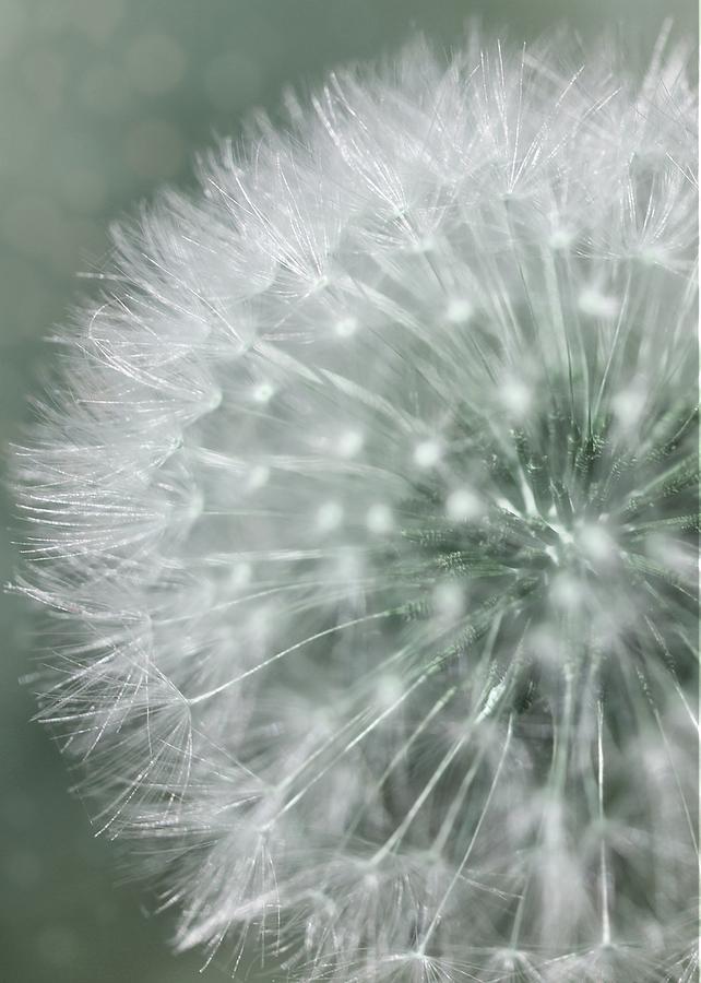 Dandelion Photograph - Dandelion Macro by Mary Pille