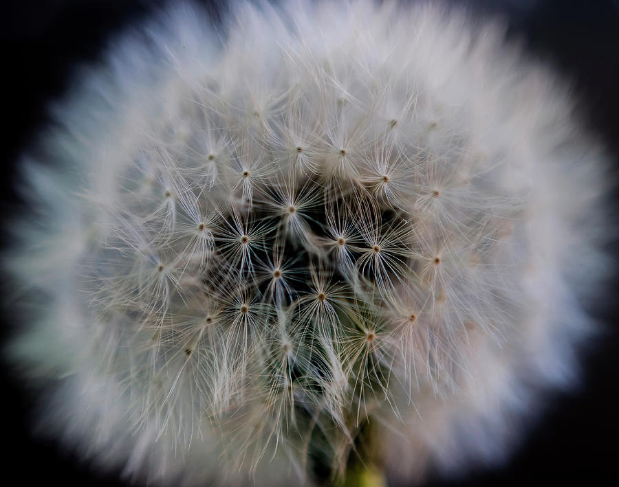Dandelion Macro by Rick Shea