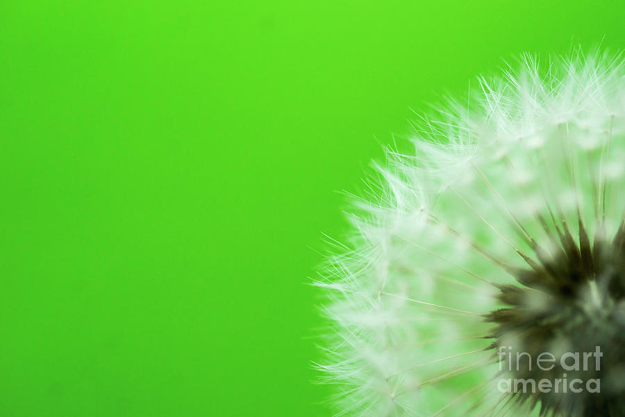 Dandelion Green Photograph