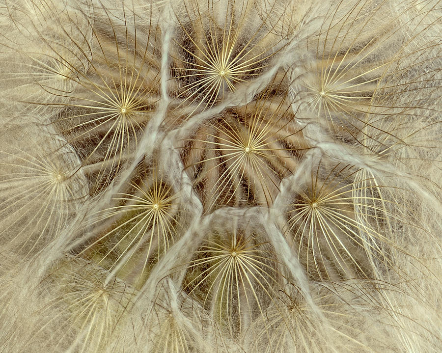 Dandelion Particles by Janice Bennett