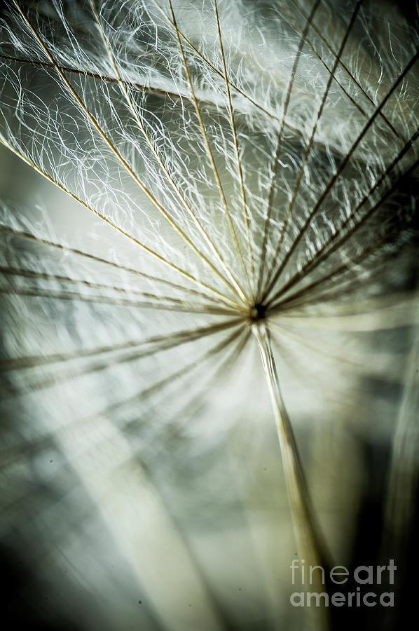 Dandelions Photograph - Dandelion Petals by Iris Greenwell
