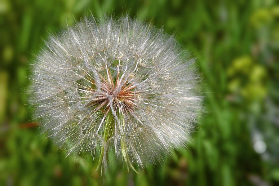 Flower Photograph - Dandelion Puff - The Summer Queen by Christine Till