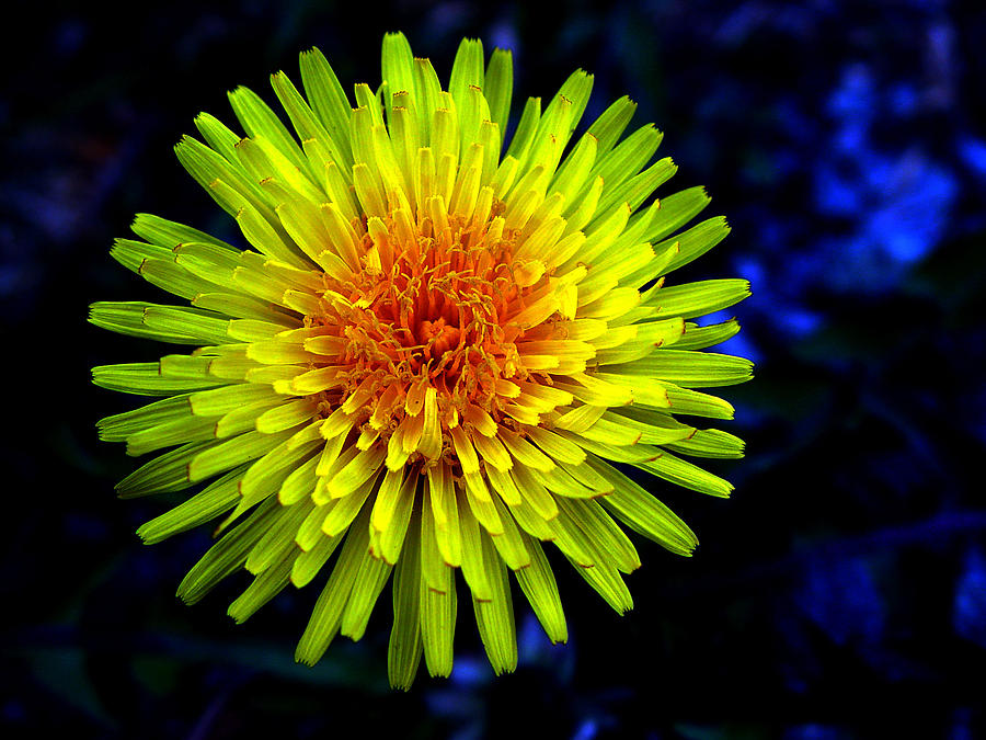 Arrangement Photograph - Dandelion by Robert Knight