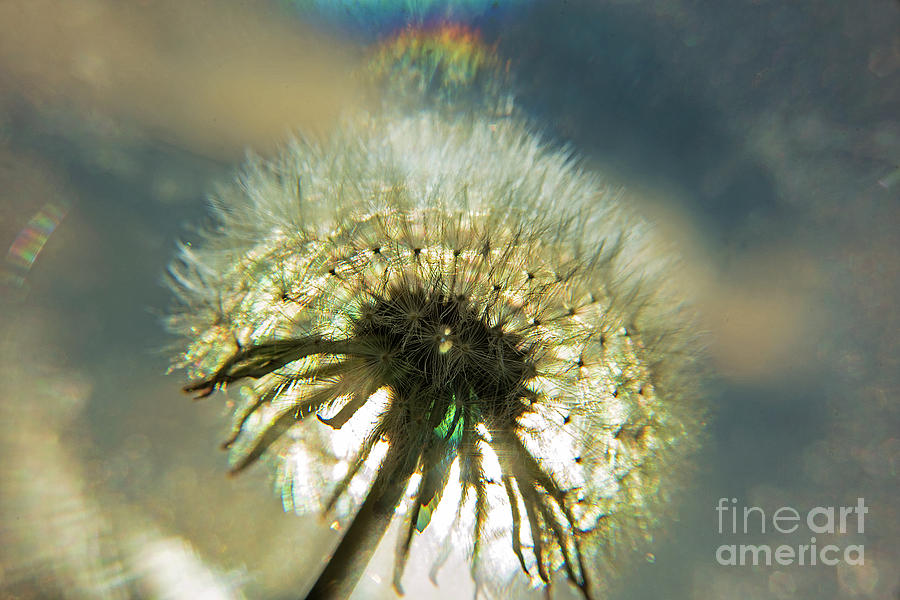 Dandelion Seed Head-4191 by Steve Somerville