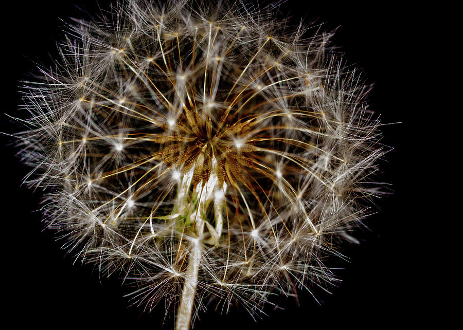 Dandelion Seed Head Photograph