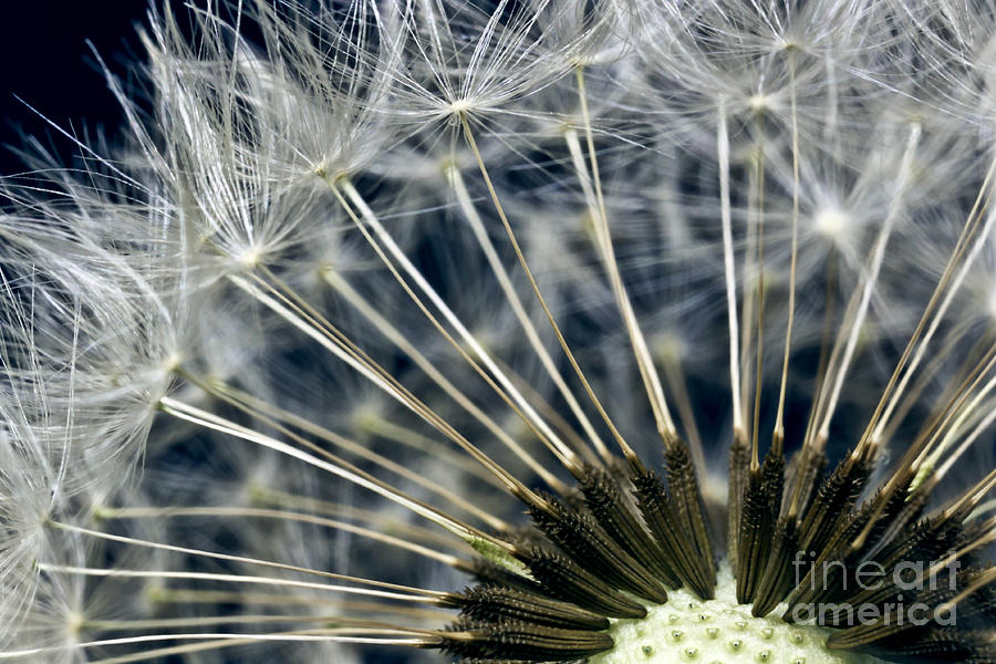 Black And White Photograph - Dandelion Seed Head by Ryan Kelly