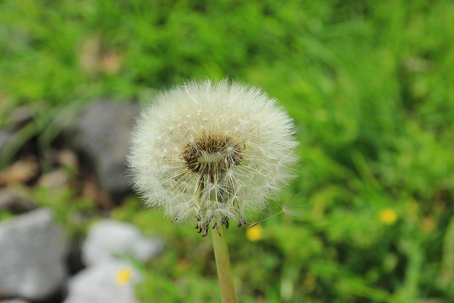 Dandelion Photograph - Dandelion Seed by Robert Hamm