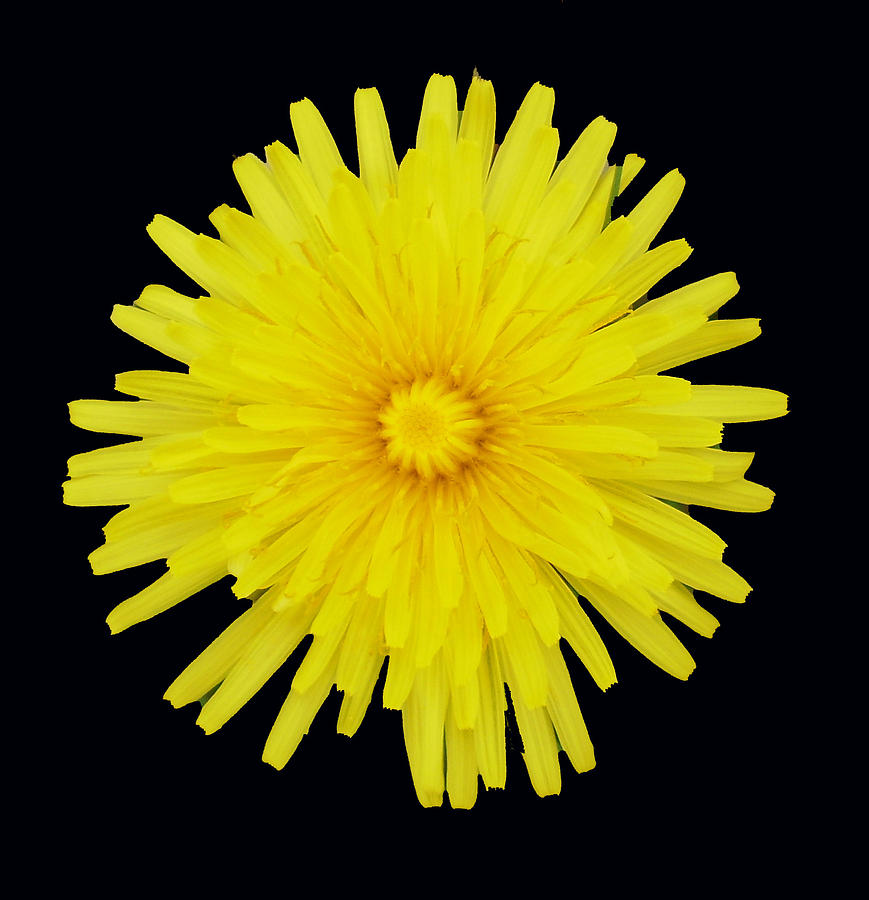 Dandelion Photograph - Dandelion by Shirley anne Dunne