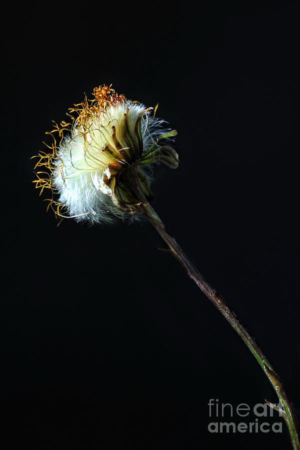 Dandelion Photograph - Dandelion Silhouette by Edward Sobuta