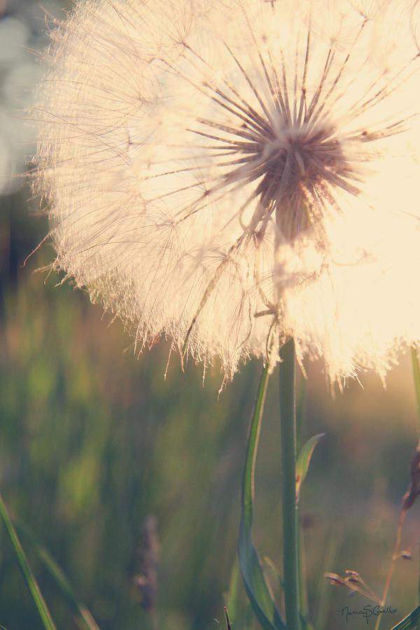Dandelion Photograph - Dandelion Sunshine by Nancy  Coelho