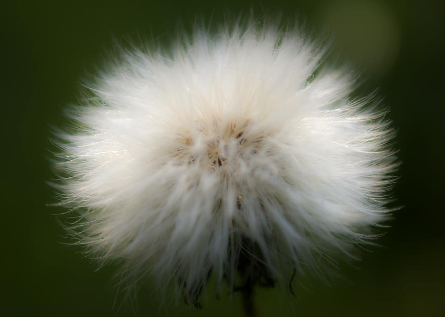 Bloom Photograph - Dandelion by Svetlana Sewell