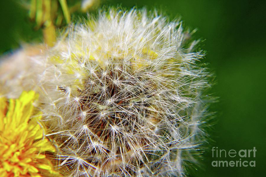 Dandelions Dream Photograph