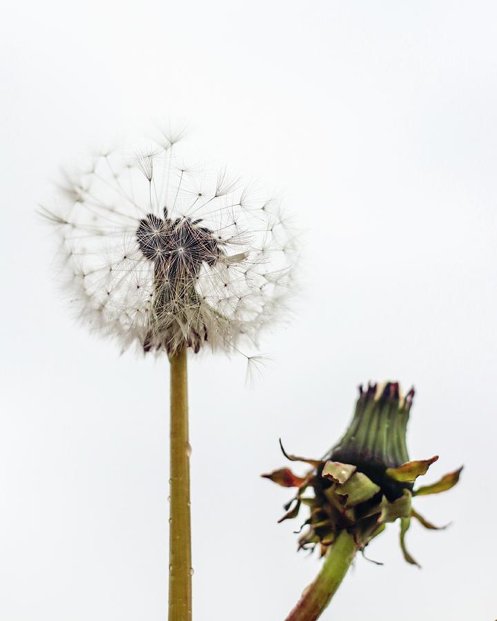 Dandelions Photograph - Dandelions by Sigrun Saemundsdottir