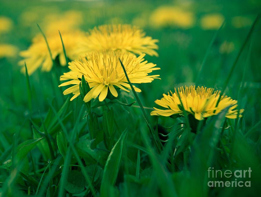 Dandelions Photograph - Dandelions by Susan Garver