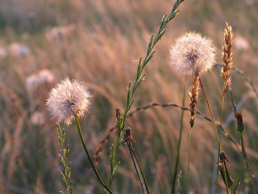 Photo Photograph - Dandelions by Tammy Gary