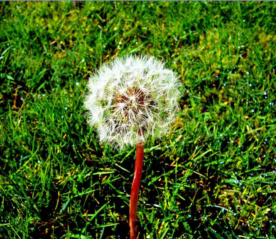 Wish Photograph - Dandy by Kevin D Davis