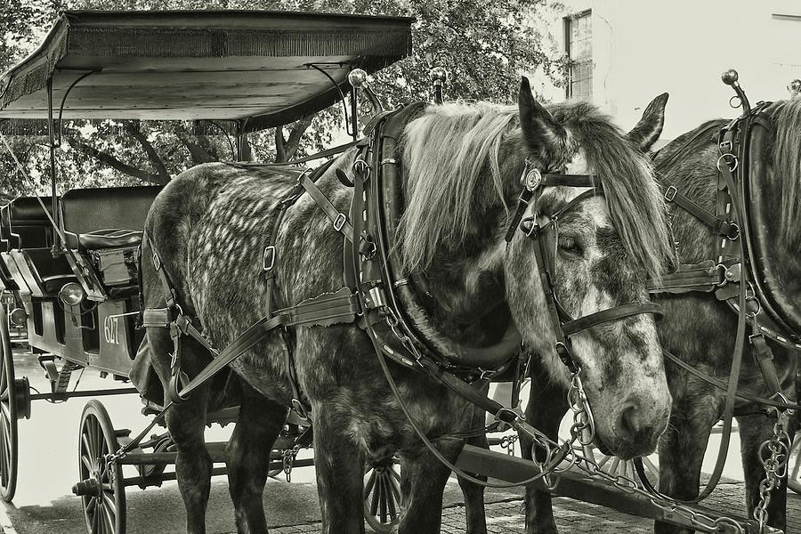 Horse Photograph - Dapple Grey by JAMART Photography