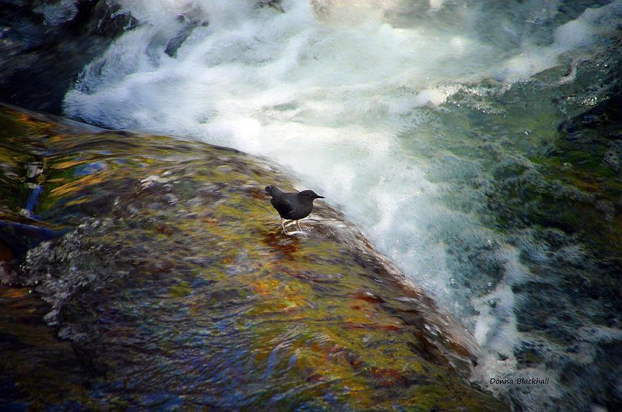 Black Bird Photograph - Dare Devil by Donna Blackhall