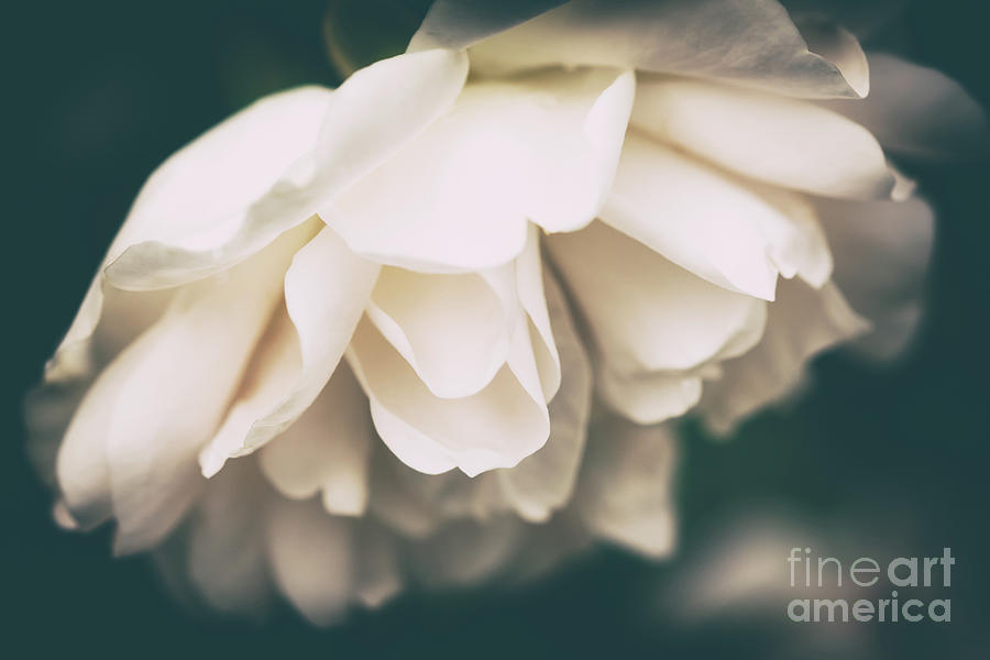 Flower Photograph - Dark Beauty by Lisa McStamp