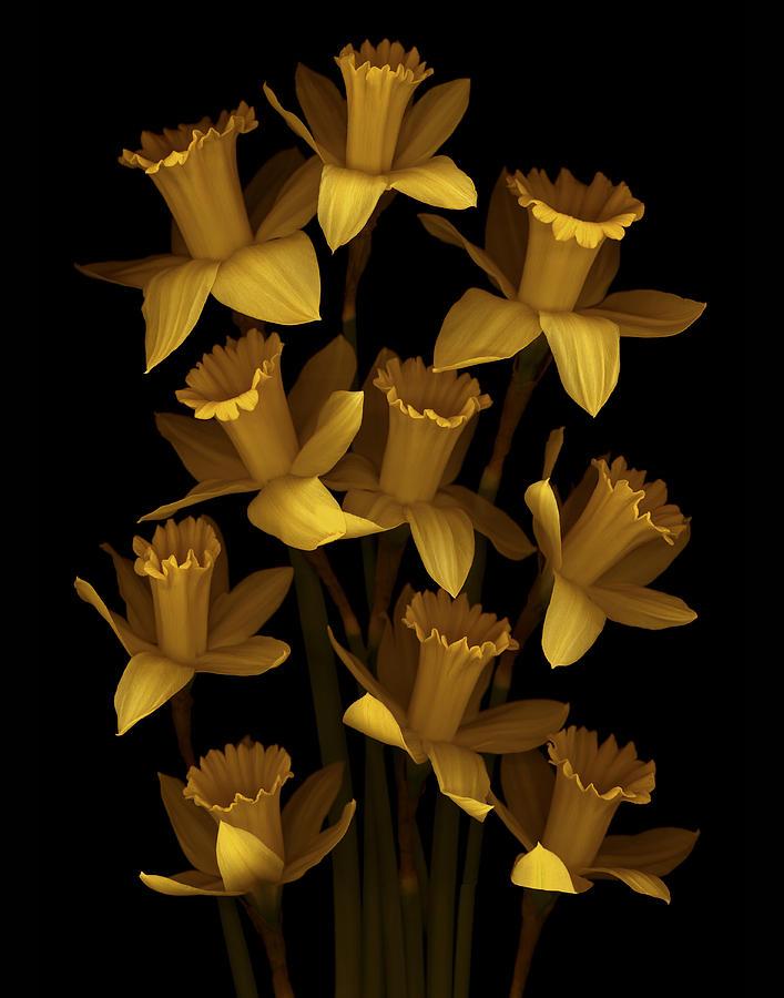 Floral Photograph - Dark Daffodils by Marsha Tudor