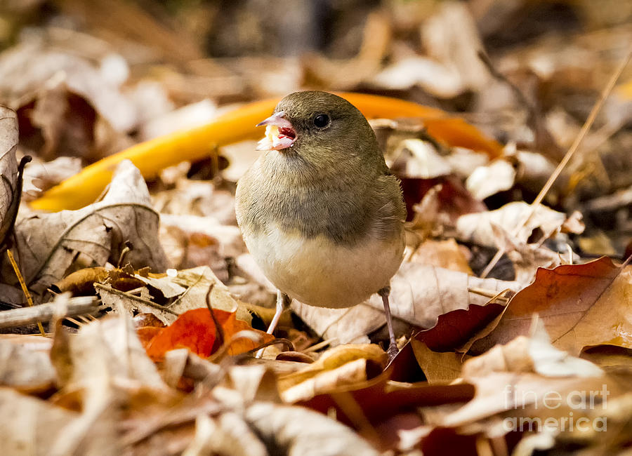 Canon Photograph - Dark-eyed Junco in the Fall by Ricky L Jones