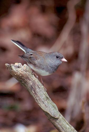 Bird Photograph - Dark-eyed Junco by Raju Alagawadi