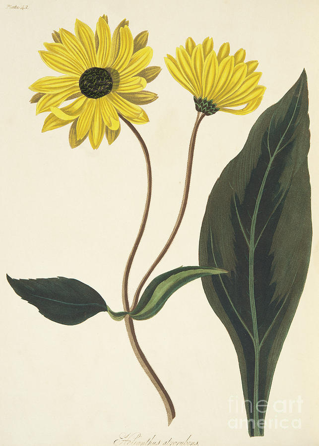 Sunflower Drawing - Dark eyed Sunflower by Margaret Roscoe