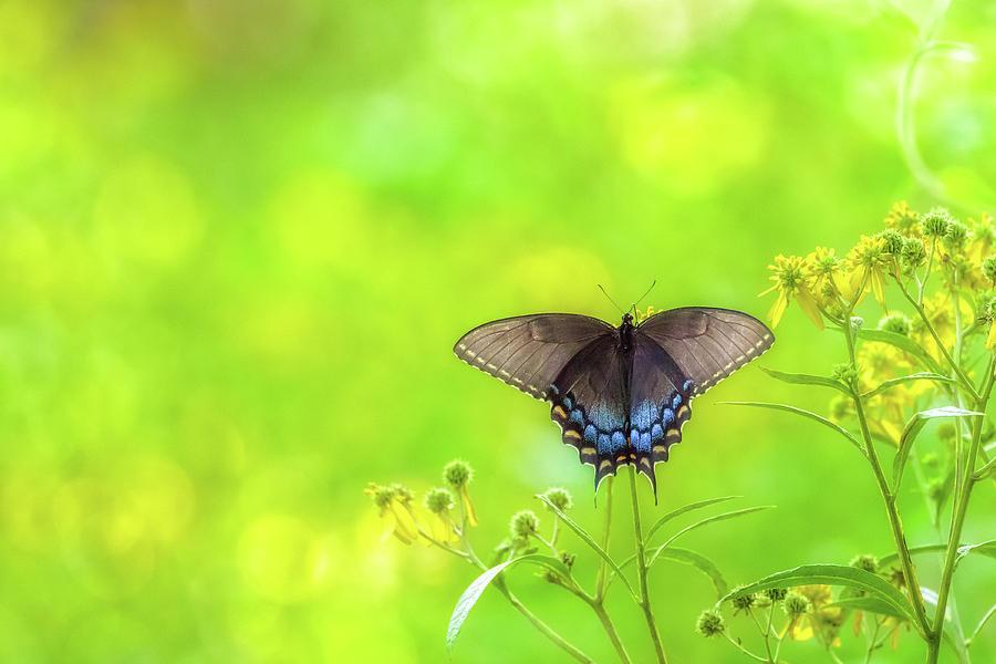 Dark Morph Female Tiger Swallowtail Butterfly by Lori Coleman