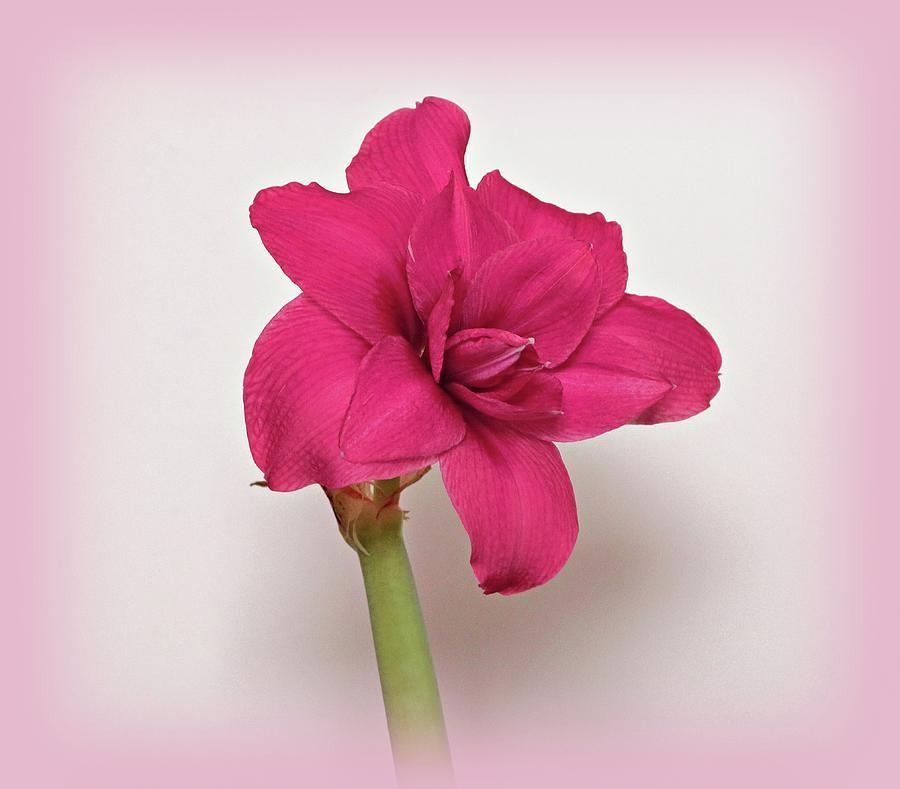 Dark Pink Amaryllis by Sandy Keeton