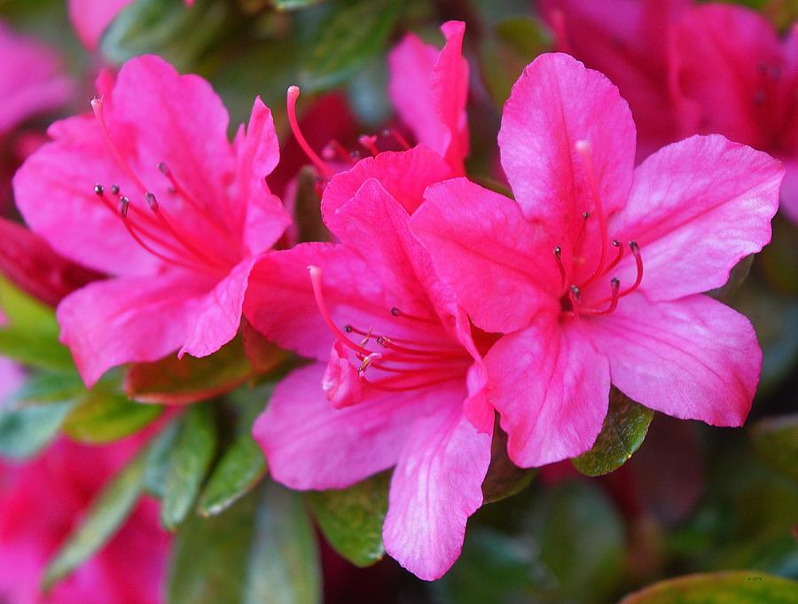 Dark Pink Azalea Flowers 1 Photograph By Geraldine Cote
