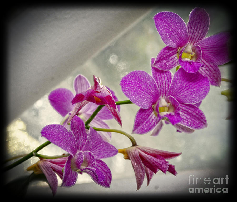 Botanical Photograph - Dark Pink Orchids All In A Row by Eva Thomas