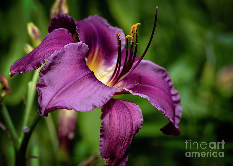 Dark Purple Daylily Photograph By Kg Photography