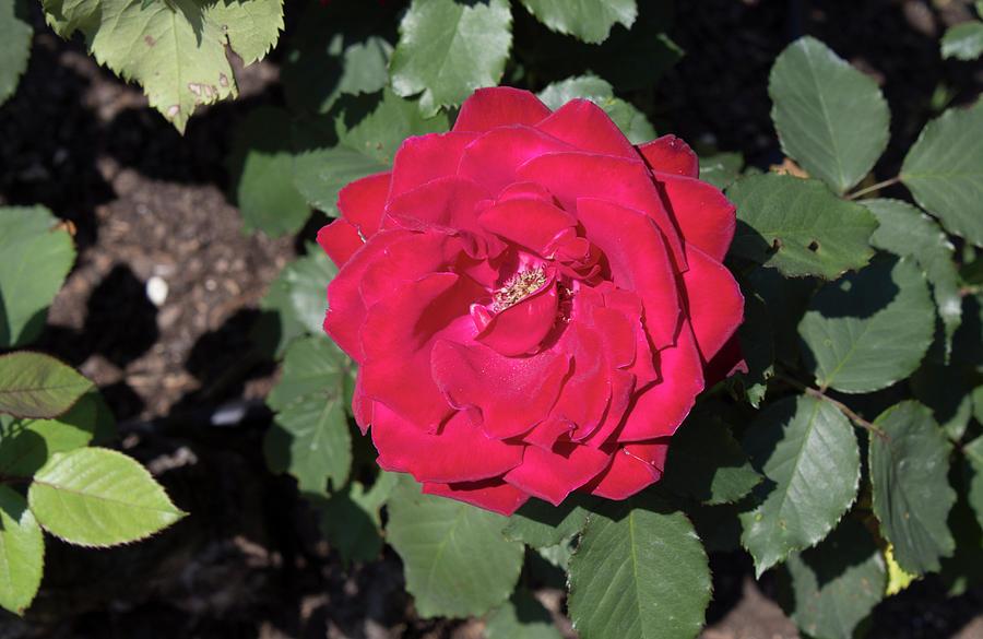 Rose Photograph - Dark Red Rose by LaMont Johnson